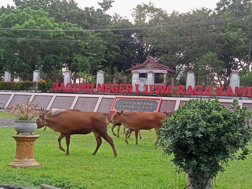 Terlihat kondisi halaman kantor bupati Merangin saat di datangi kawanan Sapi yang belum diketahui pemiliknya, Poto: Ist